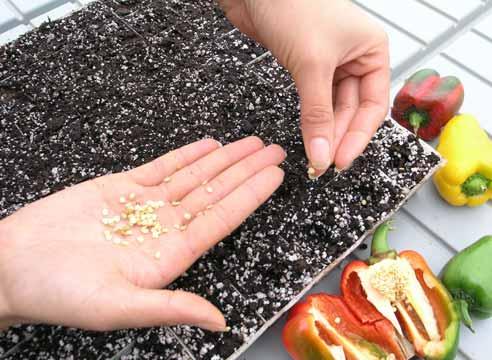 В последнее время все больше овощеводов при посадке перца ориентируются на лунный календарь